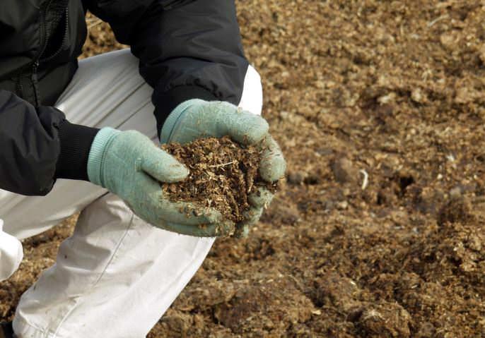 Бывалые дачники рекомендуют внести под корень хмеля большое количество свежего помета или неразведенного коровяка